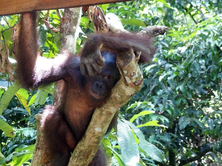 Tanjung Puting Nationalpark       Rimba Ecolodge, Indonesien